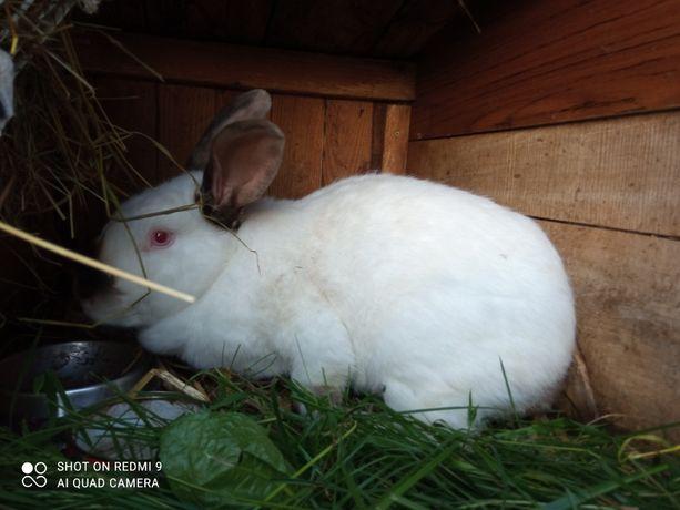 Samica kalifornijska ok 4kg zamiana król królik króliki