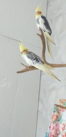 Нужен попугай Карела