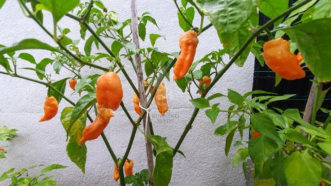 Ghost Pepper - Bhut Jalokia Peach - Pack de sementes 10+