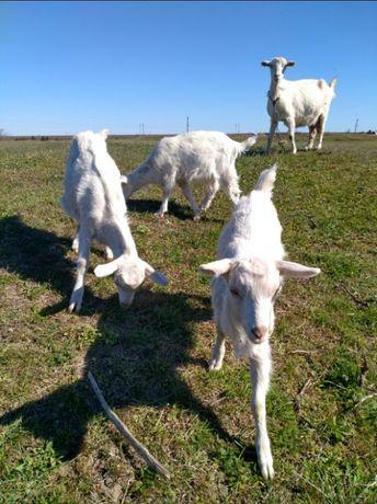 Зааненские белые козлята. Козы