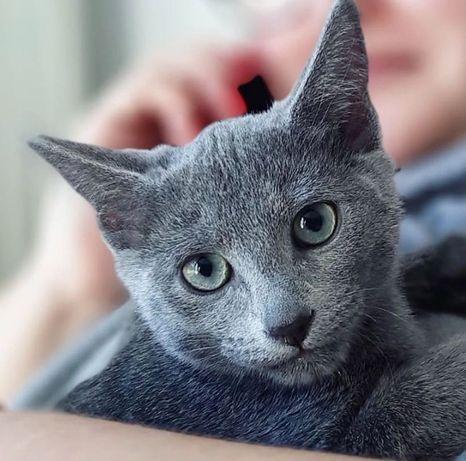Kociaki Rosyjskie Niebieskie