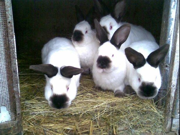 Продам кроликов молодняк породы Колифорния