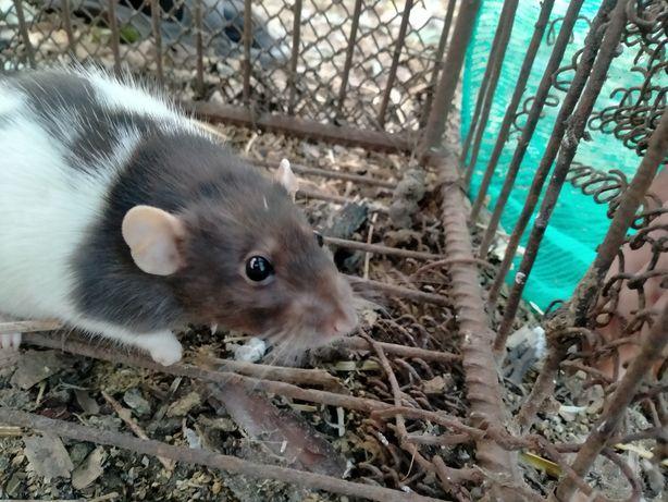 Пятнистая крыса .