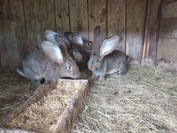 Sprzedam króliki belgi młode