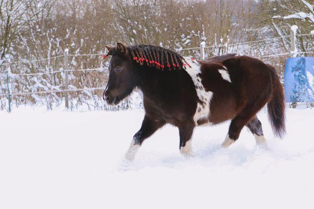 Kuc szetlandzki, kucyk do sportu i rekreacji, koń, szetland, shetland