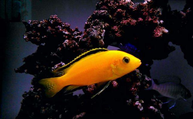 Pyszczaki akwarium MALAWI mlode Acei Redred Yellow Fire Fish Saulosi