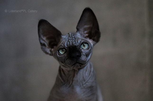 Kocięta z hodowli z pasją do kotów!