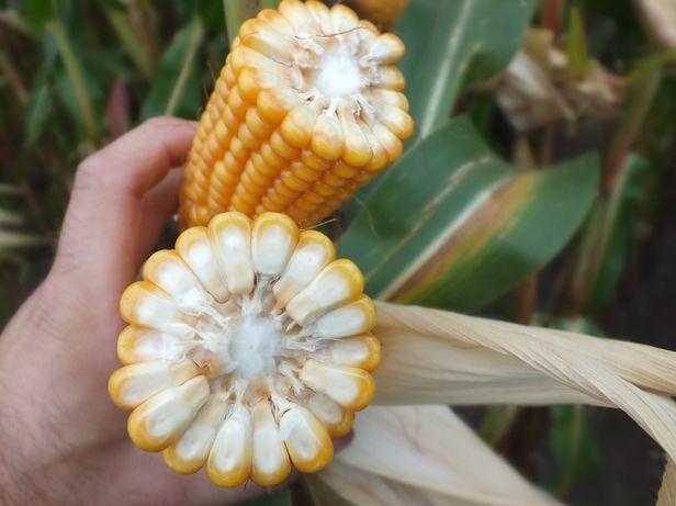 Kukurydza CEFOX 230 FAO OSEVA Nasiona Kukurydzy 2021