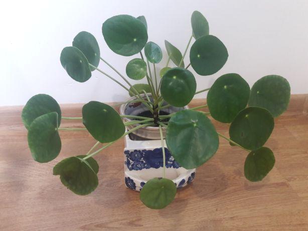 Idealny prezent upominek Pieniążek pilea kwiat doniczkowy roślina