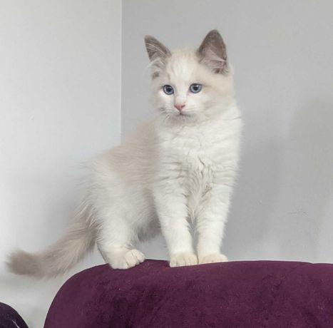 Kotki Ragdoll - z rodowodem FIFE - piękne maleństwa!