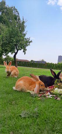 Sprzedam króliki z wolnego wybiegu