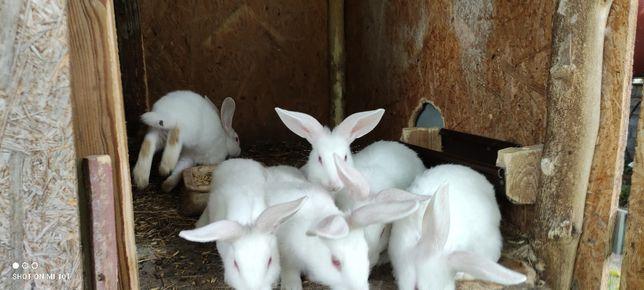 Młode króliki Termondzkie Białe