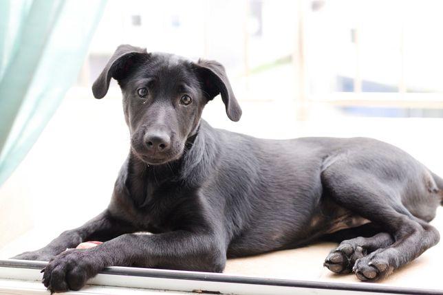 Pies typu labradora