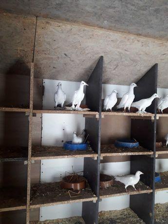 Gołębie ozdobne srebniaki bociany