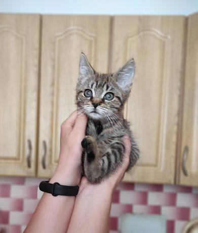 Котик Васька 2 місяці, кошеня кіт