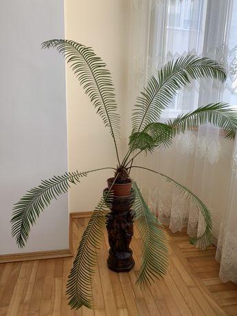 Саговая(сагова) пальма, Цикас