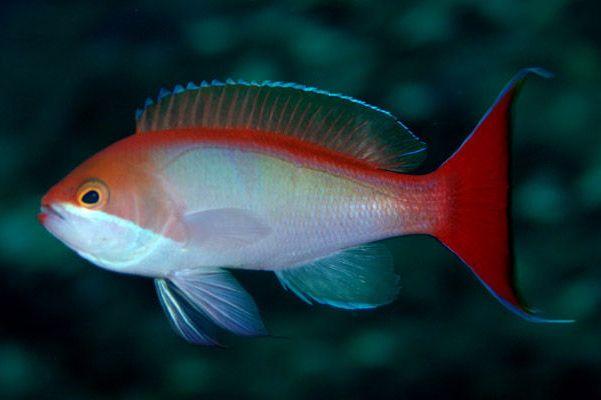 Akwarium morskie - Pseudanthias cooperi