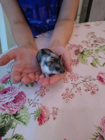 Отдадим хомячка в хорошие руки  хомяк джунгарик