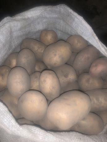 Продам домашню картоплю.