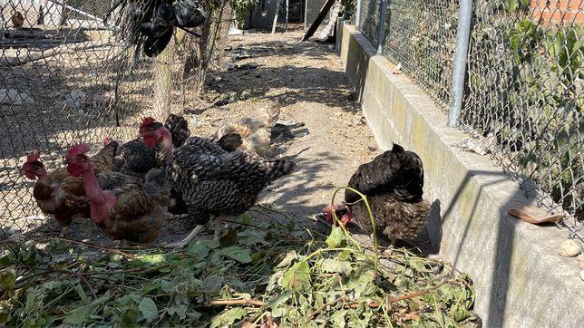galinhas ao ar livre