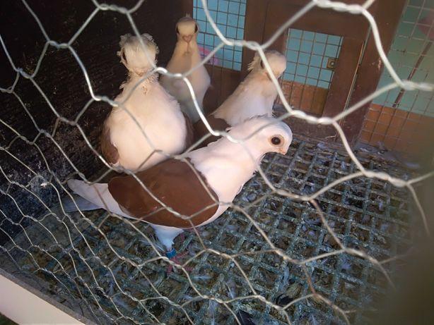 Gołębie ozdobne mewki polskie