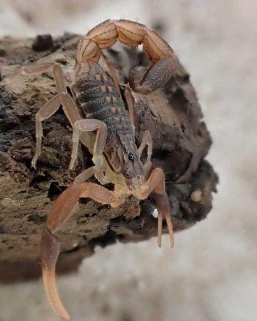 Скорпион Hottentotta hottentotta