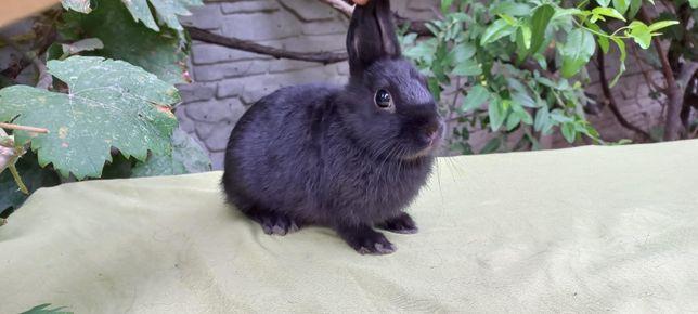 Карликовый миниатюрный кролик