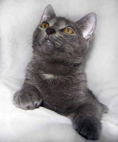 Метис русской/британской голубой кошки; котик Камиль