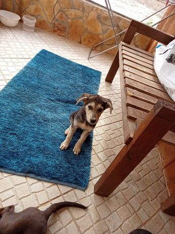 Cães pra doar  urgência