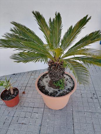 Vendo palmeira Cica