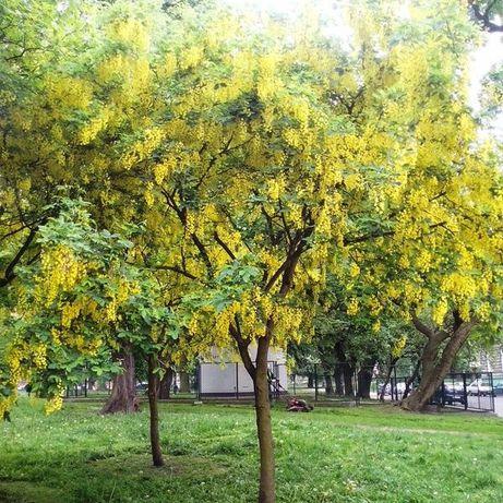 Złotokap 200cm  młode drzewo