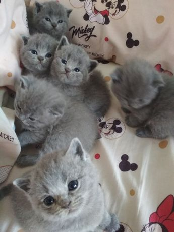 Шотландські чистокровні кошенята