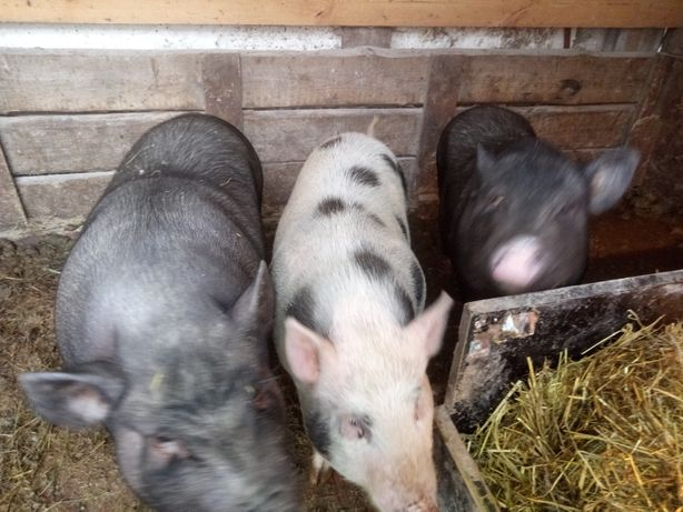 Вьетнамские свинки/поросята 7 месяцев