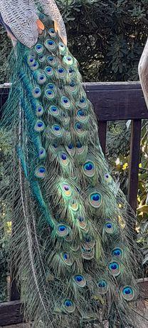 Penas de pavão azul Real