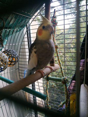 Попугай корелла/нимфа