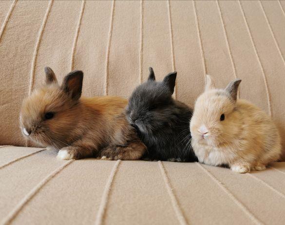 KIT Coelhos anões mini teddy, holandês mini e angorá muito dóceis