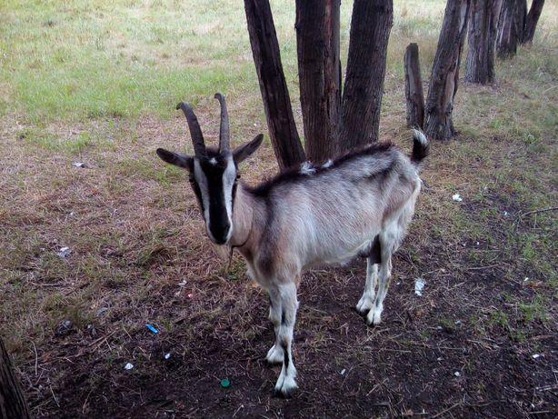 Продадим 3х дойных коз