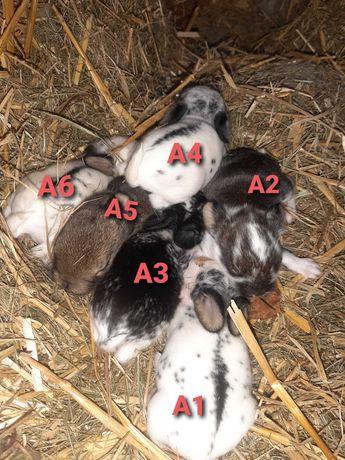 REZERWACJA królik miniaturka - baranek MINI LOP
