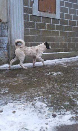 Продам щенка, кавказца(девочка)