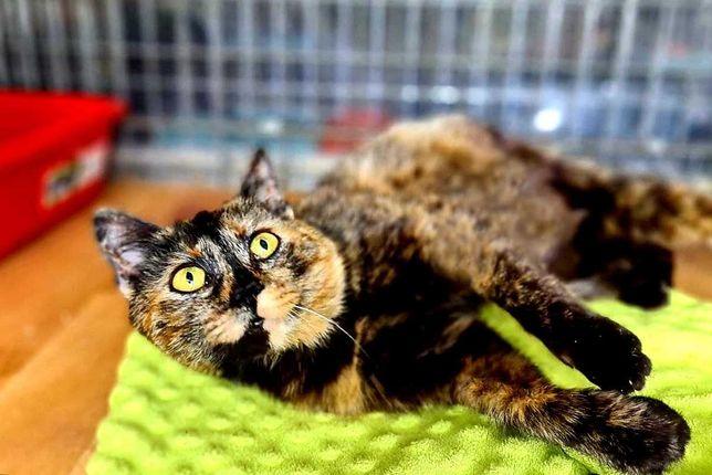 трёхцветная красавица, Кокетка, 7 месяцев, кошка, стерилизована