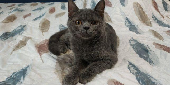 Ласковый плюшевый мальчик шотландские котята скоттиш страйт прямоухий