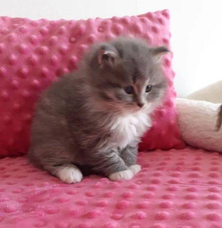 Koty Syberyjskie - Piękna Rasowa kotka z rodowodem WCF < 3 < 3 < 3