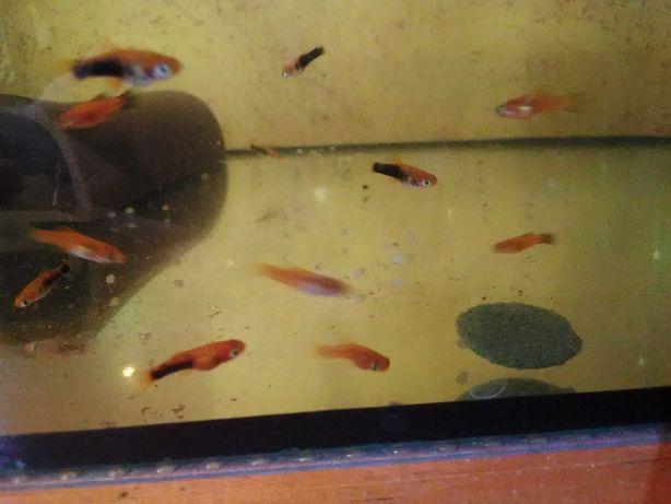 Mieczyki młode narybek akwarium rybki