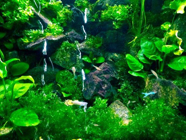 Mech Wątrobowiec Subwassertang 200ml (roślina do akwarium)