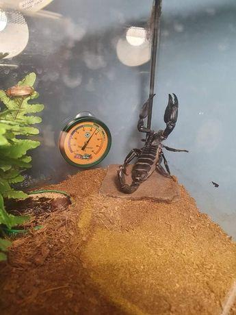 Sprzedam skorpiona