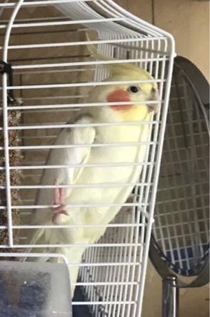 Попугай Корелла(ручной с клеткой)
