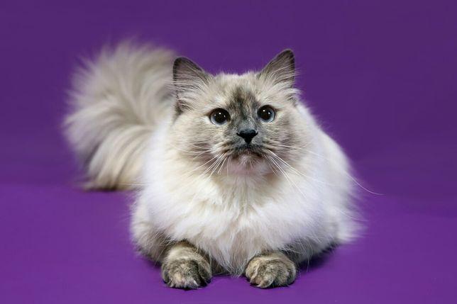 Сибирские Невские маскарадные котята !!!