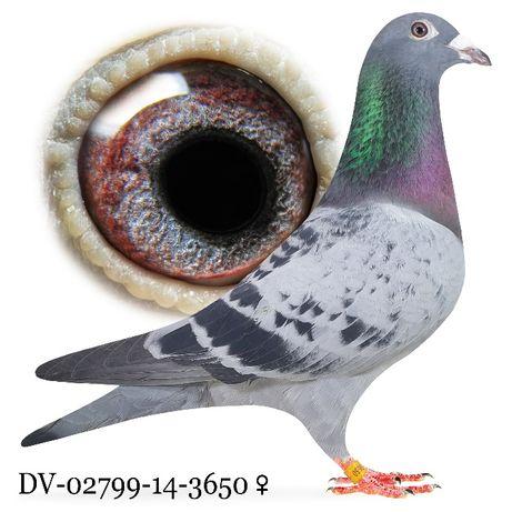 Młode 2021 Para nr 14 Stichelbout/Heremans cust gołąb gołębie pocztowe