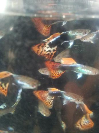 Gupiki - rybki akwariowe