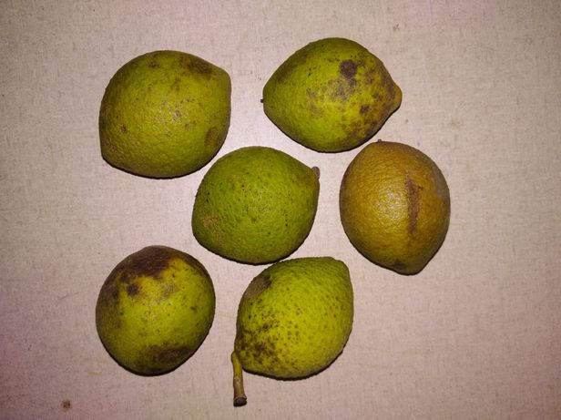 Orzech czarny owoce